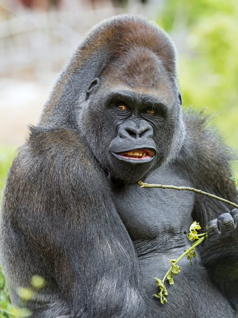 Unhappy big gorilla eating